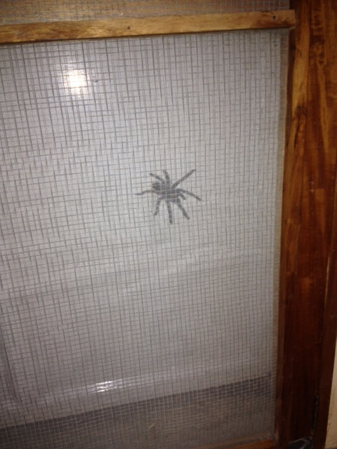 We see a lot of baby tarantulas around the door and in the house. This must be the mother!