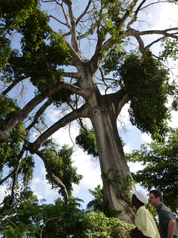 A very tall mapu tree. Haitians relate these to evil spirits and so they do not cut them down!