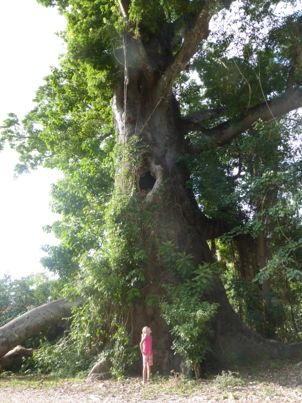 The branches of this massive Mapu tree are thicker than most trees!