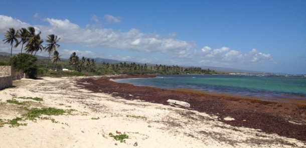 This seaweed is covering most of the Caribbean beaches!