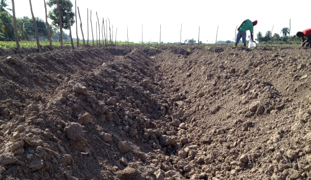 This photo shows how much sweat went into digging deep furrows!
