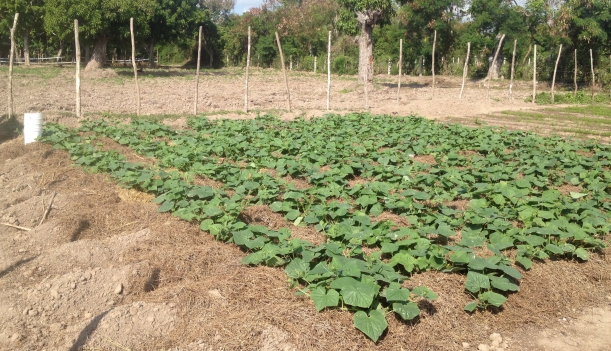 The cucumbers are happy in their soft bed of grass!