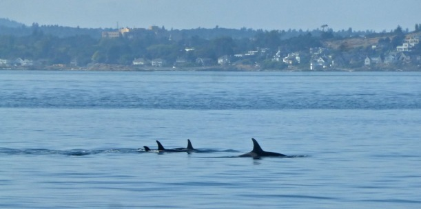 We were blessed to see pods of Orcas and a gray whale too!